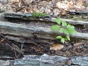 Buchenkeimling auf Totholz